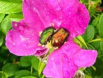 Escarabajos de mayo en los escaramujos Foto de archivo libre de regalías