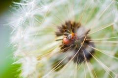 escarabajos de señora Siete-manchados Foto de archivo libre de regalías