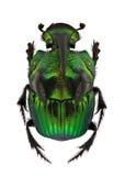 Escarabajos del arco iris - demonio de Phanaeus Imagenes de archivo