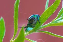 Escarabajos del escarabajo en una planta Foto de archivo