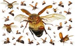 Escarabajos del escarabajo que vuelan imágenes de archivo libres de regalías