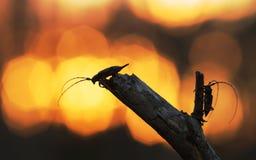 Escarabajos del fonolocalizador de bocinas grandes, aedilis de Acanthocinus en puesta del sol Fotos de archivo libres de regalías
