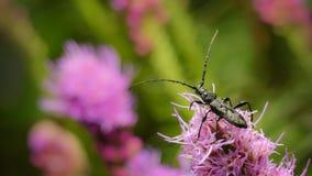 Escarabajos del fonolocalizador de bocinas grandes, fotografiados al permanecer en la flor púrpura en naturaleza imagen de archivo