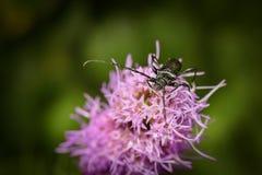 Escarabajos del fonolocalizador de bocinas grandes, fotografiados al permanecer en la flor púrpura en naturaleza imagen de archivo libre de regalías