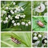 Escarabajos del lirio de los valles y de mayo foto de archivo libre de regalías