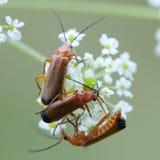 Escarabajos del soldado Imágenes de archivo libres de regalías