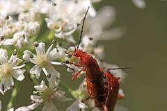 Escarabajos del soldado Fotos de archivo