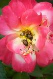 Escarabajos destructivos imagen de archivo libre de regalías