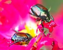 Escarabajos en Flowe rosado fotografía de archivo