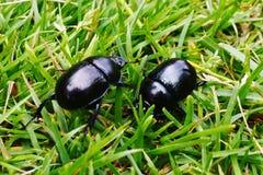 Escarabajos en la hierba Fotografía de archivo libre de regalías