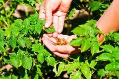 Escarabajos en sus manos imagen de archivo