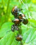 Escarabajos japoneses Fotografía de archivo libre de regalías