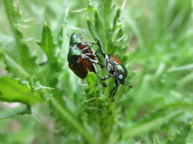 Escarabajos japoneses de acoplamiento Fotos de archivo libres de regalías