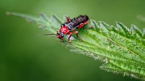 Escarabajos o Leatherwing, nigra de Cantharis, forma roja del soldado en la hoja de la ortiga imagen de archivo