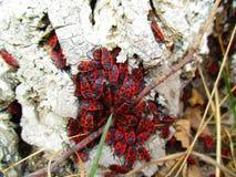 Escarabajos rojos Foto de archivo