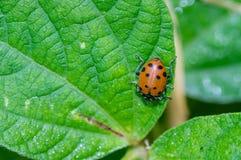 Escarabajos rojos del insecto de la señora que alimentan en una hoja Imágenes de archivo libres de regalías