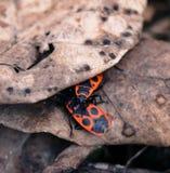 Escarabajos rojos que ocultan debajo de los insectos de hoja Imágenes de archivo libres de regalías