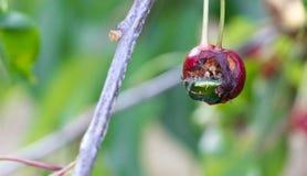 Escarabajos verdes de una fruta que comen una cereza Fotografía de archivo libre de regalías