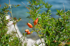 Escaramujo con las bayas en la orilla de mar de la bahía fotos de archivo libres de regalías
