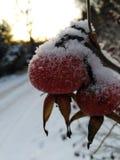 Escaramujo del invierno fotografía de archivo libre de regalías