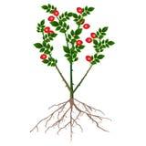 Escaramujos de un arbusto con las bayas rojas y raíces aisladas en el fondo blanco Foto de archivo libre de regalías