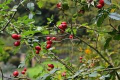 Escaramujos del otoño en el campo inglés fotografía de archivo