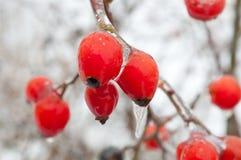 Escaramujos en invierno Foto de archivo libre de regalías