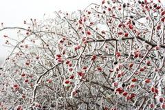 Escaramujos en invierno Fotos de archivo