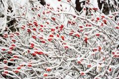 Escaramujos en invierno Fotos de archivo libres de regalías