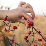 Escaramujos en manos con el fondo del escaramujo Imagen de archivo libre de regalías