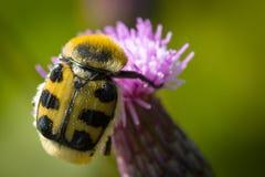 Escaravelho do fasciatus de Trichius do besouro de abelha fotografia de stock