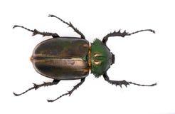 escaravelho Longo-armado (fêmea) fotos de stock