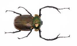 escaravelho Longo-armado (homem) fotos de stock royalty free