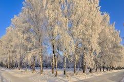 Escarcha de los árboles de abedul cubierta en un fondo del cielo azul Foto de archivo libre de regalías