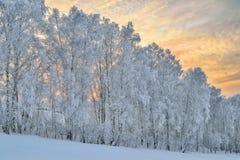 Escarcha de los árboles de Birche cubierta en una cuesta de la colina en mañana apacible Foto de archivo