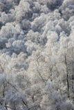 Escarcha en árboles de abedul en las montañas Imagen de archivo libre de regalías