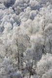 Escarcha en árboles de abedul en las montañas Imagen de archivo