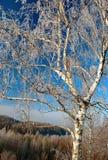 Escarcha en abedul en invierno Fotografía de archivo libre de regalías