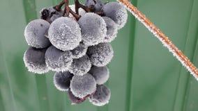 Escarcha en bayas de uvas Ramas congeladas de uvas contra un fondo de la nieve blanca en invierno Bayas de las uvas fotos de archivo libres de regalías