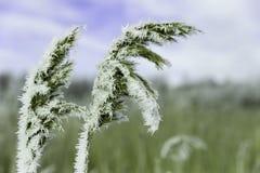 Escarcha en hierba seca en invierno Fotos de archivo libres de regalías