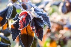 Escarcha en las hojas de un arbusto decorativo después de una helada de la noche Foto de archivo libre de regalías