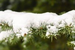 Escarcha en las hojas del árbol de abeto en nevar en invernadero Picea congelada con el fondo de las escamas de la nieve fotografía de archivo libre de regalías