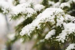 Escarcha en las hojas del árbol de abeto en nevar en invernadero Picea congelada con el fondo de las escamas de la nieve imagenes de archivo