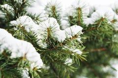 Escarcha en las hojas del árbol de abeto en nevar en invernadero Picea congelada con el fondo de las escamas de la nieve fotos de archivo libres de regalías