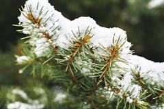 Escarcha en las hojas del árbol de abeto en nevar en invernadero Picea congelada con el fondo de las escamas de la nieve foto de archivo