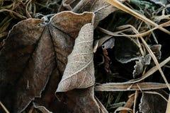 Escarcha en las hojas del marrón y los troncos de la hierba Imagenes de archivo