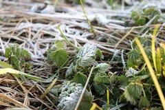 Escarcha en las hojas del verde y los troncos de la hierba Foto de archivo