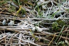 Escarcha en las hojas del verde y los troncos de la hierba Fotos de archivo