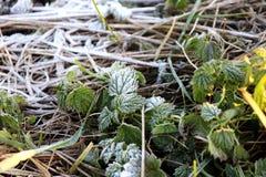 Escarcha en las hojas del verde y los troncos de la hierba Foto de archivo libre de regalías