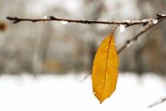 Escarcha en las hojas en nevar en invernadero Rama congelada con el fondo de las escamas de la nieve imágenes de archivo libres de regalías